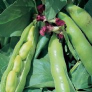 Broad Bean Crimson Flowered - 1kg - 25kg Bulk Discounts available